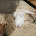 Sheep sleeping by Raiza Costa