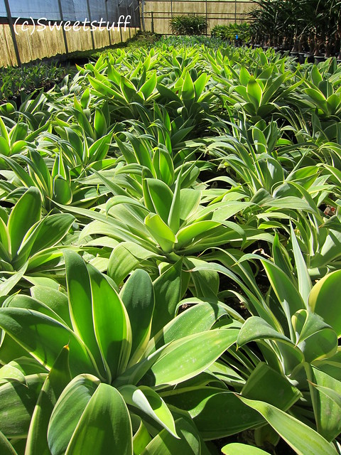 Greenhouse agaves