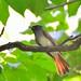 紫壽帶Japanese Paradise Flycatcher