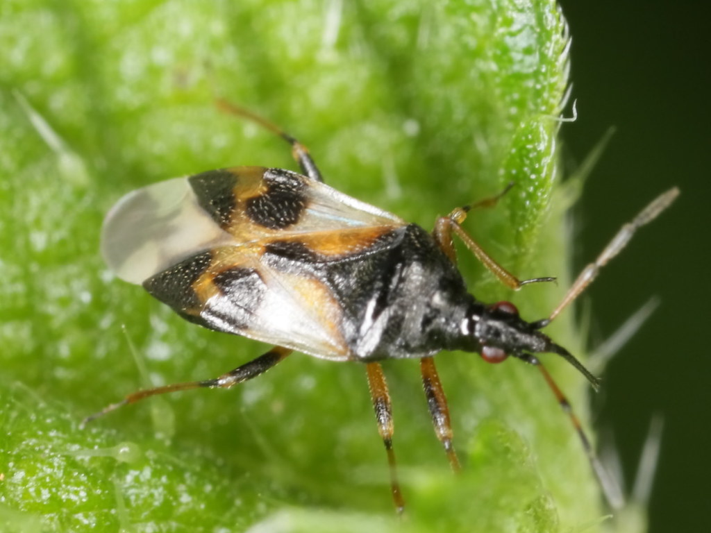 Anthocoris nemorum (Anthocorinae)