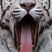 White Tiger Yawns by Mark Dumont