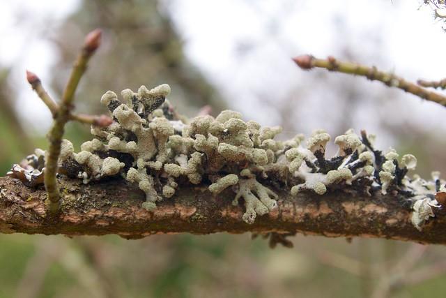 Fuzzy Lichens