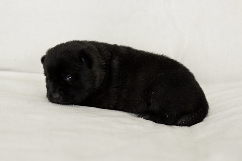 Nori-Litter1-Day15-Puppy3-Female-3
