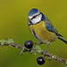 Blue Tit. by Mike Rawlings