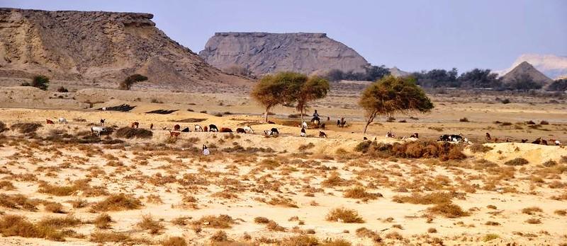 34 pastoreando en la Isla de Qeshm (76)