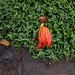 Small photo of African tulip