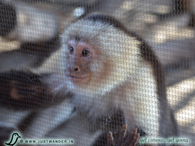 PIC: A white-headed, white throated capuchin monkey at Giraffe Ranch
