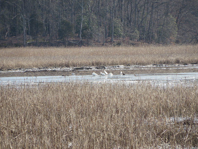 Tundra Swans And black ducks