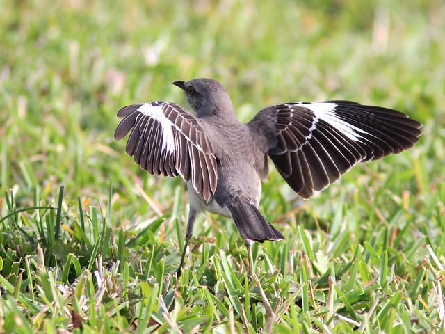 Northern Mockingbird flashing wings 2-20140320