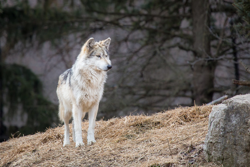 Wolf At Attention