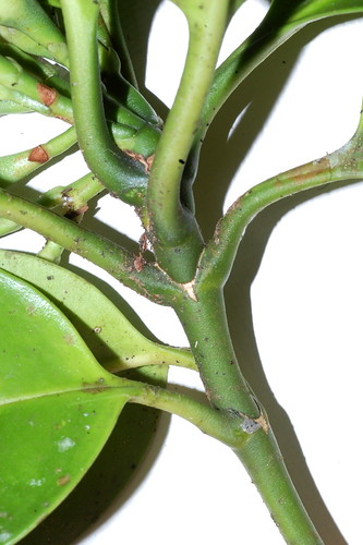 Fagraea cambagei DSC_0021 (1)