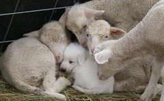 aggredito dalle pecore