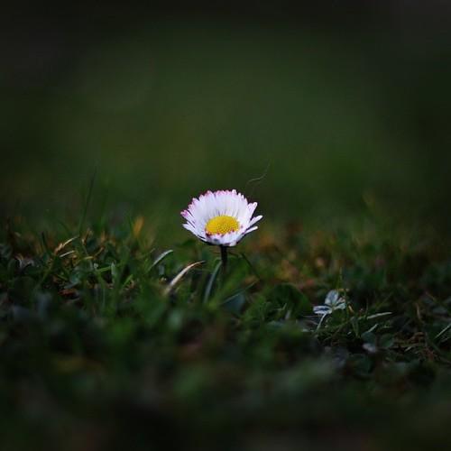 #gänseblümchen #daisy #flower #blume #meadow #wiese #grün #green #canon #eos #70d #festbrennweite #1,8 #love #fun #nice #instagram #instaflower #picoftheday #photooftheday #instaday #instalove #blümchen @instrack @instagram