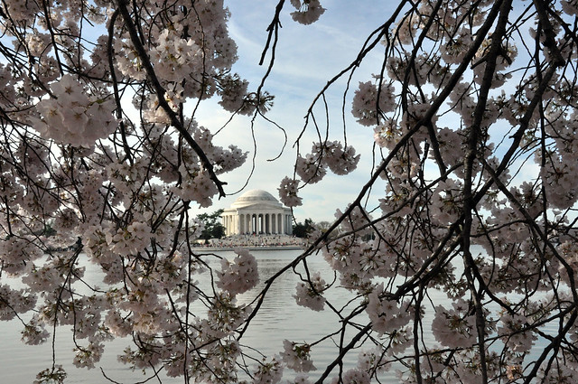 D.C. Cherry Blossoms