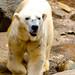 Male Polar Bear, Jambi of  Yokohama Zoological Gardens : ホッキョクグマのジャンブィ(よこはま動物園ズーラシア)