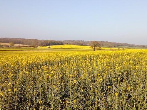 Fields full of Canola