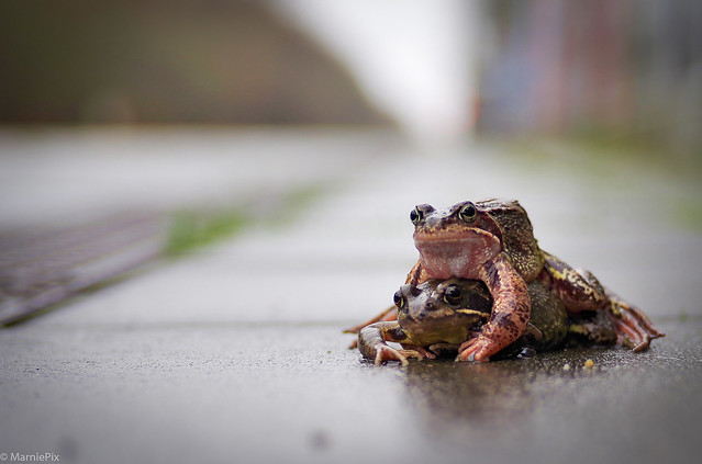 Love of the Frogs, Pentax K-30, smc PENTAX-DA 40mm F2.8 XS