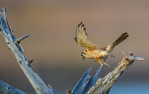 Kestrel with prey