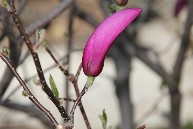Even if it is just one flowering bud, It's spring, straight out of the camera.