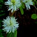 Small photo of Blue Mist fothergilla
