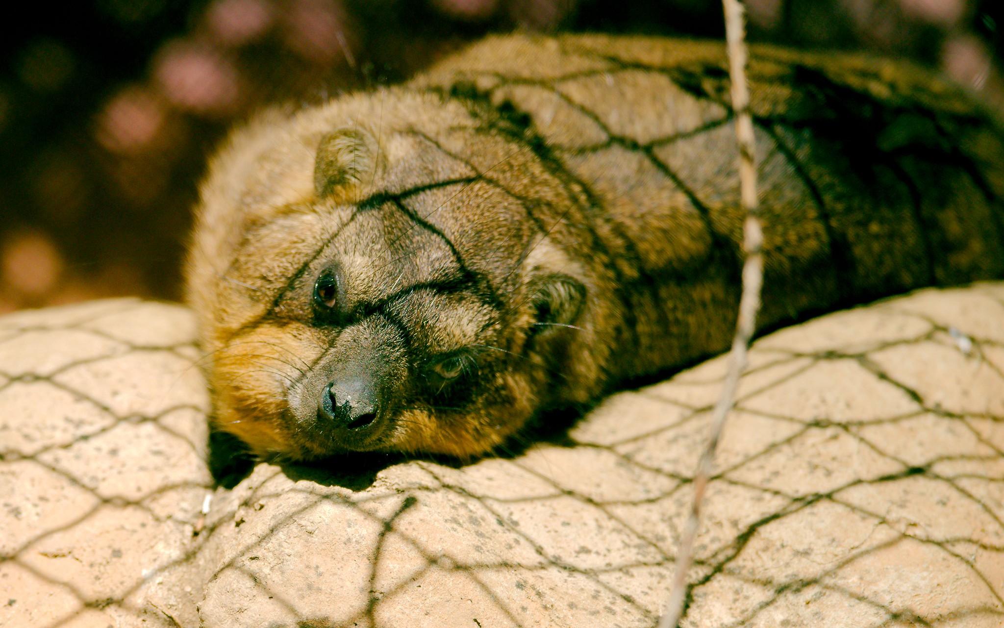 Cape Rock Hyrax