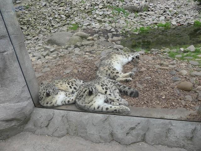 Schneeleopard, Zoo Karlsruhe