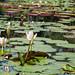 Nenúfares, Laguna Venezuela en el Jardín Botánico de Caracas (Caracas / Venezuela)