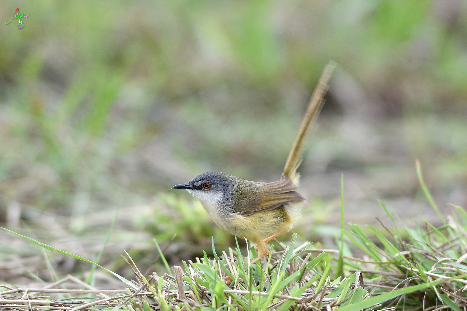 Yellow-bellied_Prinia_3496
