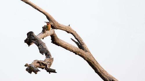 whitefrontedbeeeater meropsbullockoides krugerpark mpumalanga southafrica