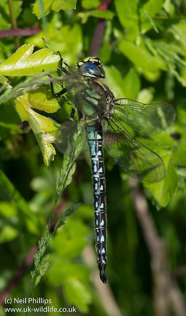 Hairy Dragonfly Brachytron pratense-2