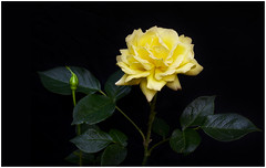 ipomoea alba(0.0), gardenia(0.0), shrub(1.0), garden roses(1.0), flower(1.0), yellow(1.0), rosa foetida(1.0), plant(1.0), flora(1.0), petal(1.0),