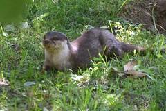 marmot(0.0), animal(1.0), otter(1.0), weasel(1.0), mammal(1.0), fauna(1.0), marten(1.0), polecat(1.0), mink(1.0), wildlife(1.0),