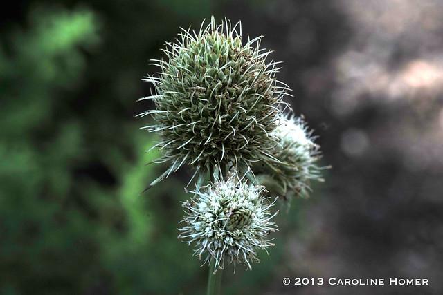 Eryngium yuccifolium var. yuccifolium
