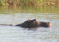 Hippopotamus - photo by Kim Parry, Ontario CA.