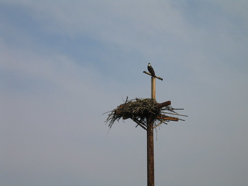 An osprey and its nest