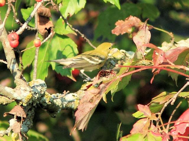 Bay-breasted Warbler 2-20130910