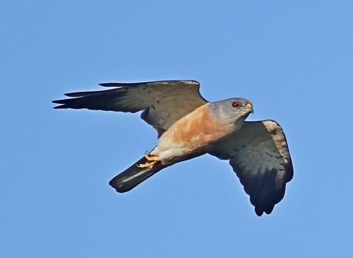 赤腹鷹雄鳥(圖片攝影:曾建偉)