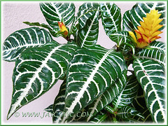Our Aphelandra squarrosa 'Louisae' (Zebra Plant), March 12 2013