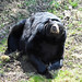 Small photo of American black bear (Ursus americanus)