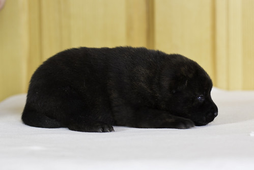 Ayui-Litter3-Day10-Puppy2-Female-b