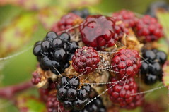 shrub(0.0), plant(0.0), produce(0.0), food(0.0), zante currant(0.0), blackberry(1.0), berry(1.0), frutti di bosco(1.0), loganberry(1.0), chokeberry(1.0), fruit(1.0), boysenberry(1.0),