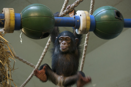 Toddler chimpanzee Shangwe, playing and exploring - Artis Royal Zoo