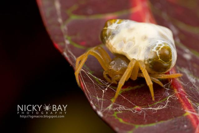 Bird Dung Spider (Cyrtarachne sp.) - DSC_4264