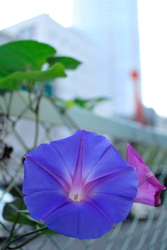 The morning glory of October seen on the commuting way No.1.