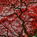 Red Fall Foliage, Point Defiance Park, Tacoma, Washington, Explore #4 by Don Briggs