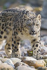 Walking snow leopard...