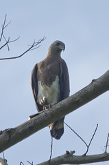 Grey Headed Fish Eagle