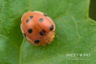 Ladybird (Coccinellidae) - DSC_0831