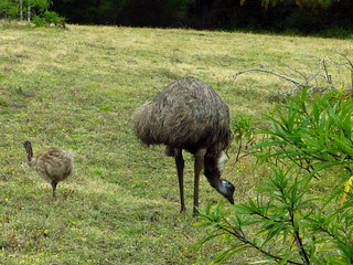 More Tower Hill - emu & baby