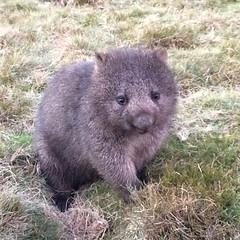 tasmanian devil(0.0), animal(1.0), wombat(1.0), rodent(1.0), fauna(1.0), wildlife(1.0),